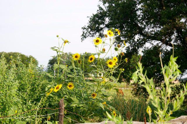 Rio through the sunflowers