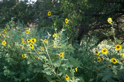 stand of sunflowers
