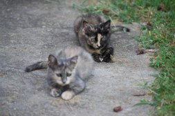 Gray and Tortie