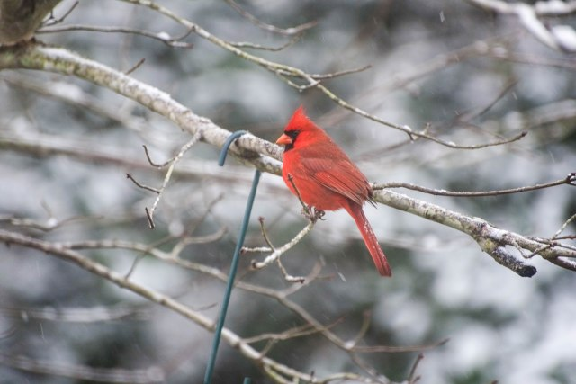 cardinal 3.jpg