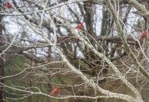 Cardinals 5