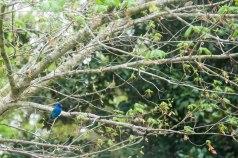 Blue bird 4