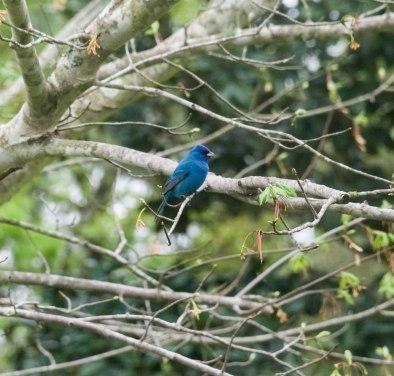 Blue bird 5