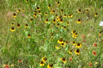 black-eyed Susans and Indian paintbrushes