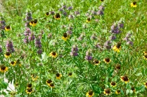 Lupines and black-eyed Susans