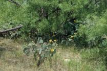 yellow bloom cactus