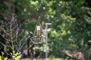 brown headed cowbird and northern cardinal ebird -13