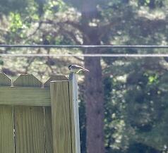 Carolina chickadee ebird -2