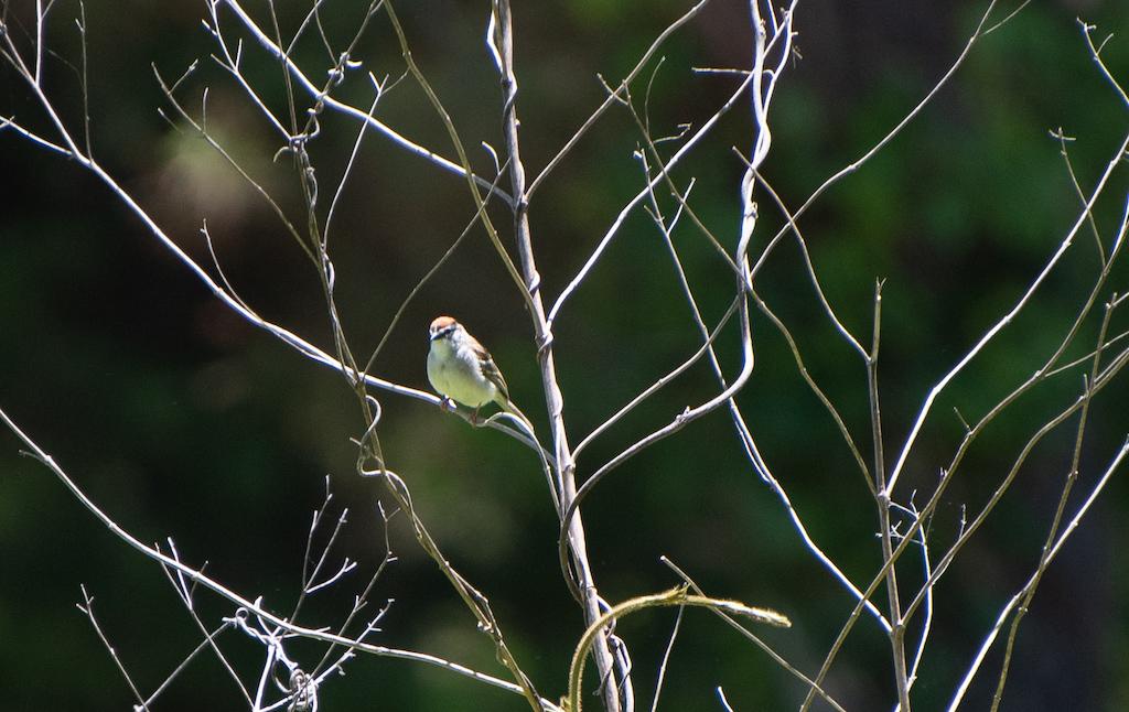 Chipping sparrow ebird -17