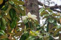 magnolia-8