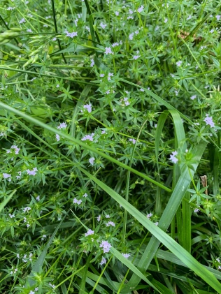 purple stars and wild grasses