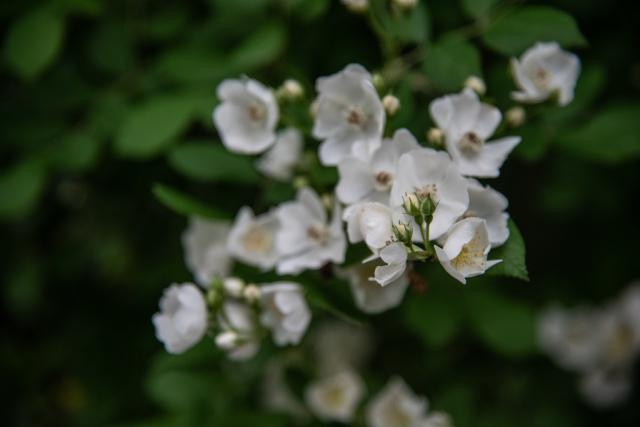 single flower bokah