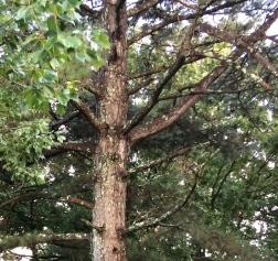 Pine pincers-2