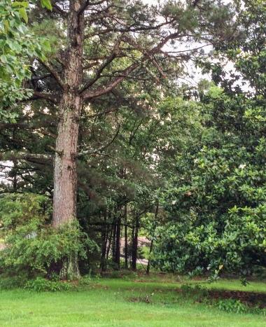 Pine pincers