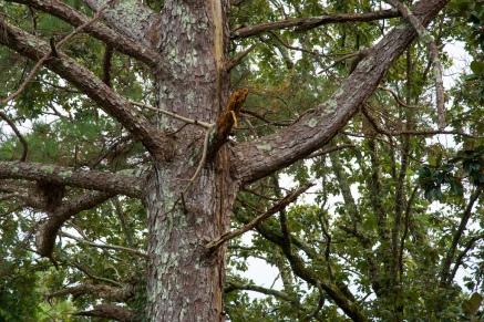 Pine tree-2