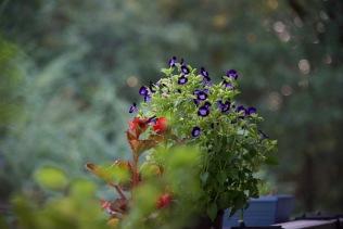 Purple pansies and red begonia