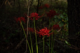 red flowers-11