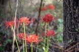 red flowers-3