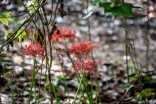 red flowers-6
