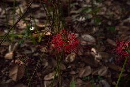 red flowers-8
